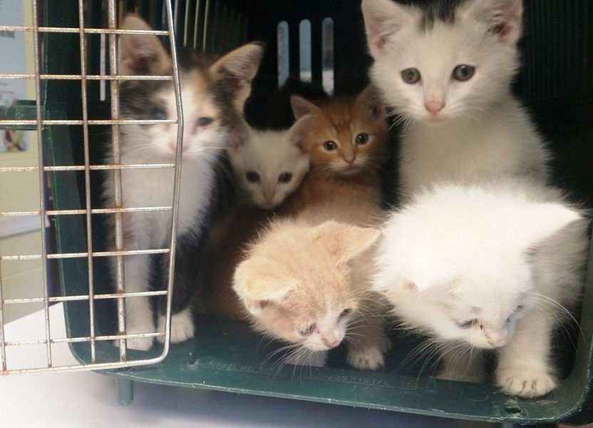 Kittens up for adoption at The Book Center in Cumberland, Maryland
